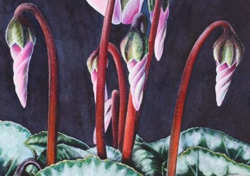 Pink Cyclamen by Julia Patience
