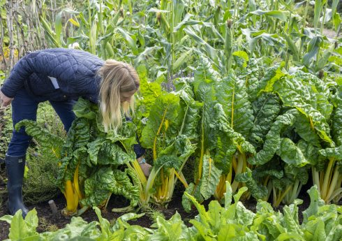 Woman harvesting Swiss chard 'Pirol'