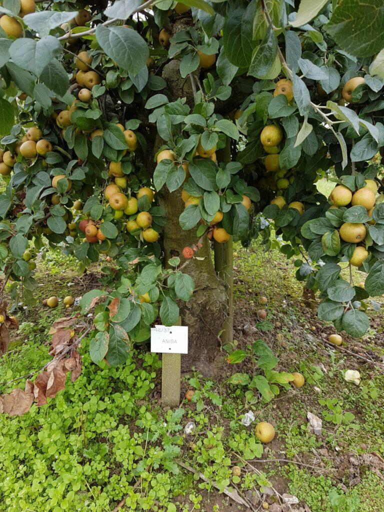 Brogdale Apples